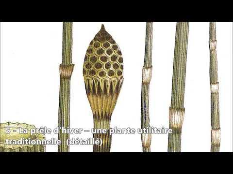 5   La prêle d'hiver – une plante utilitaire traditionnelle détaillé