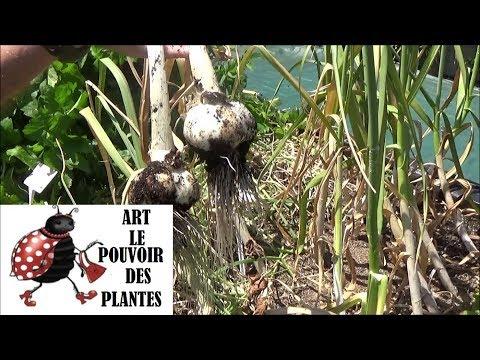 Tuto jardinage: Potager: L'ail blanc: culture, plantation et récolte: Plante vivace