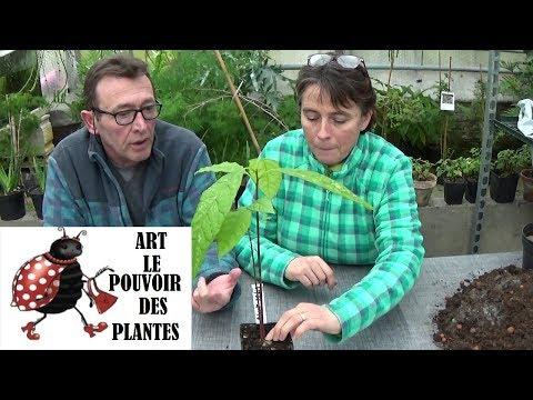 Conseils jardinage: Avocat: Comment faire pousser un avocatier à la maison (semis): Plante verte
