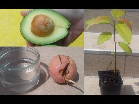 Faire pousser un avocatier à partir d'un noyau d'avocat / How to grow an avocado tree from seed