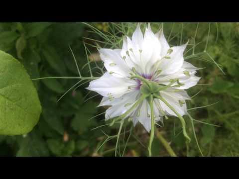 Nigelle de Damas ou cheveux de Vénus ou Belle-aux-cheveux-dénoués 'Nigella damascena'