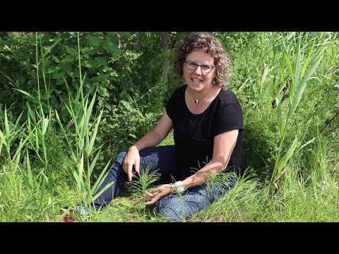 La prêle – Les rejets du jardinier