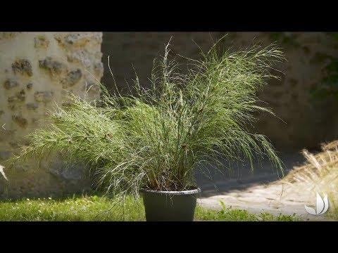 Cultiver la prêle restio (elegia capensis) – Jardinerie Truffaut TV