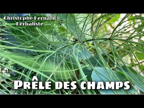 Prêle des champs (Equisetum arvense) : silicium, collagène, réparation des tissus